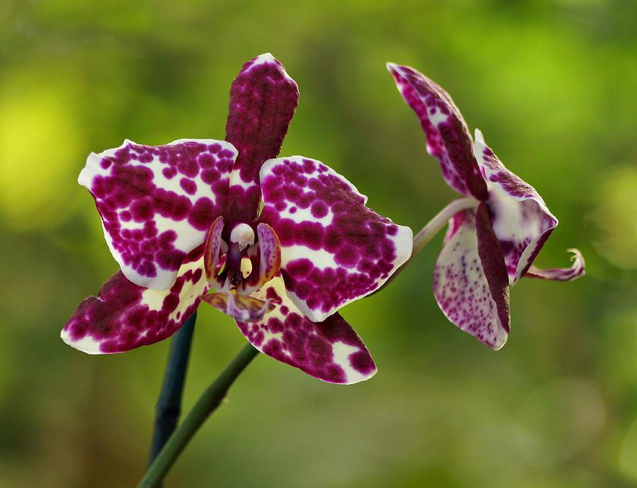 фото пятнистых орхидей помогает создать