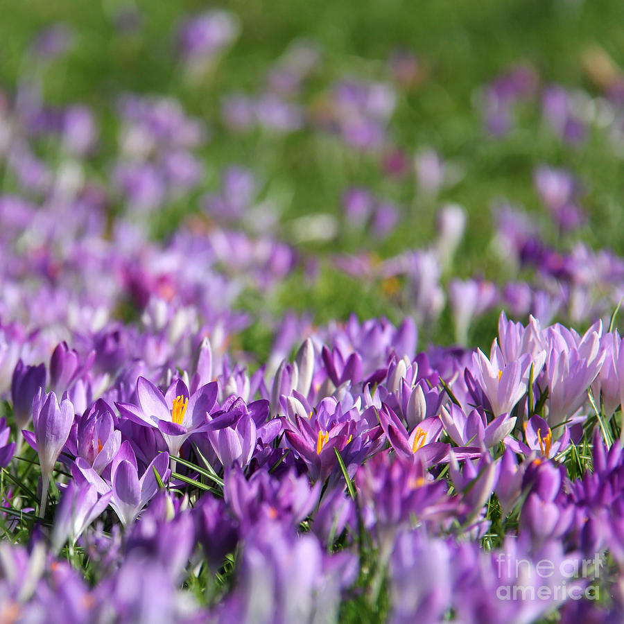 Purple Photograph - Purple Spring by Karin Ubeleis-Jones