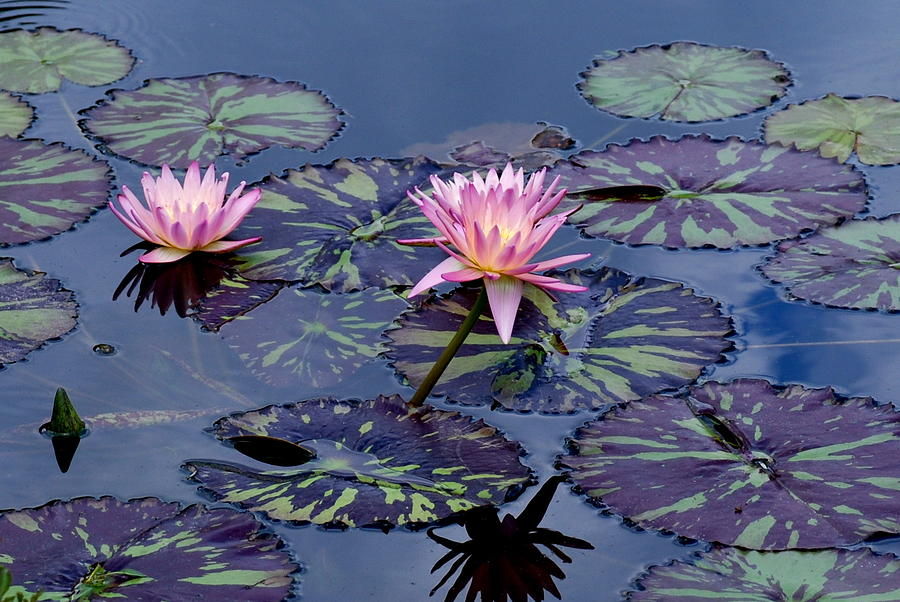 Waterlily With Purple Striped Lily Pads Photograph