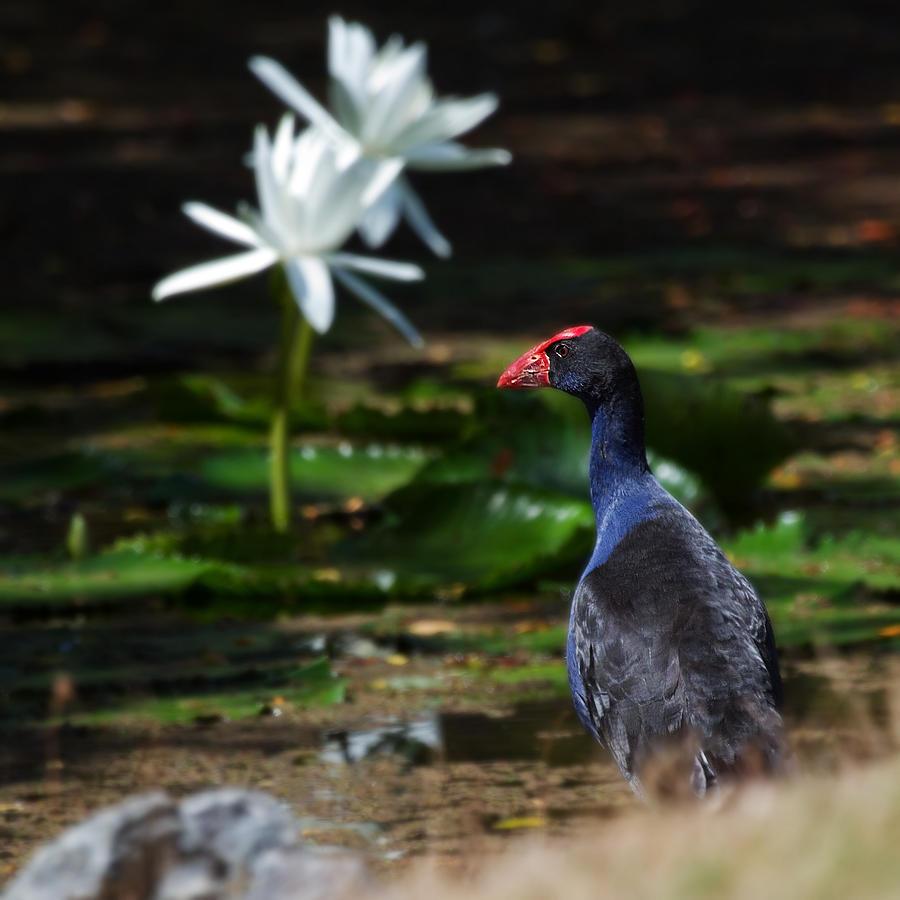 Animal Photograph - Purple Swamphen Admiring The Water Lilies by Mr Bennett Kent
