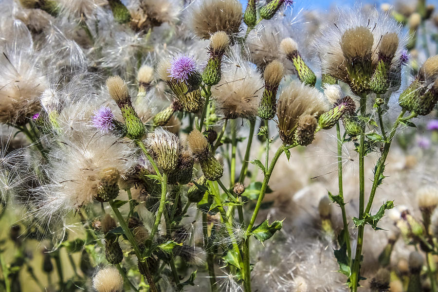 Field Photograph - Purple Thistle by Gerald Murray Photography