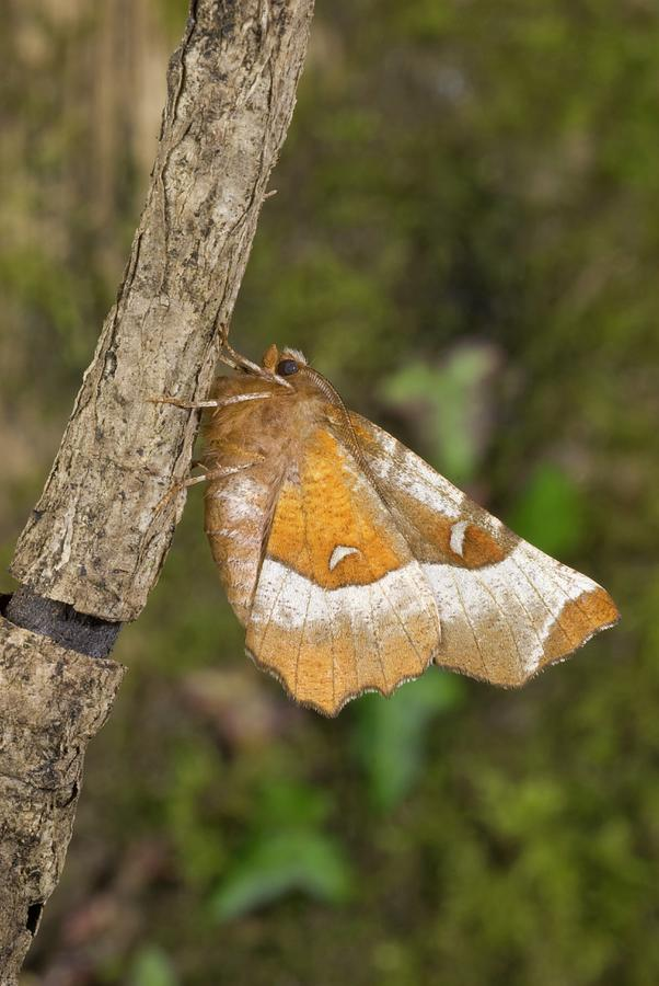 Nobody Photograph - Purple Thorn Moth by David Aubrey/science Photo Library