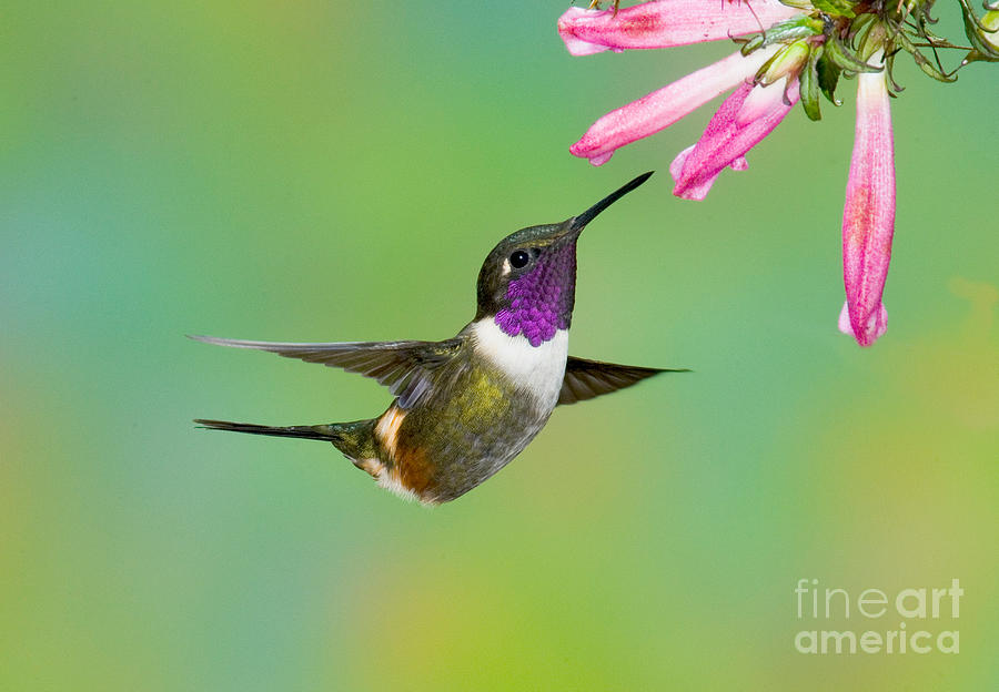 Fauna Photograph - Purple-throated Woodstar by Anthony Mercieca