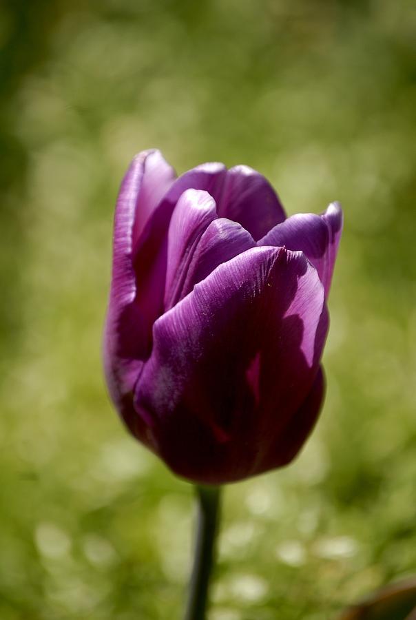Tulips Photograph - Purple Tulip by Donna Stiffler
