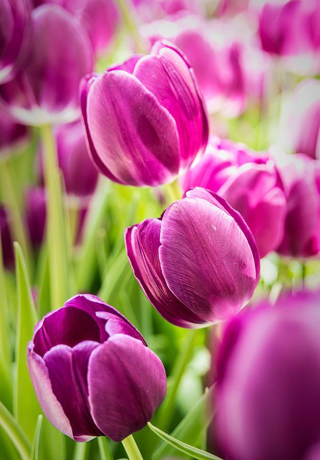 Tulips Photograph - Purple Tulip Garden by  Onyonet  Photo Studios