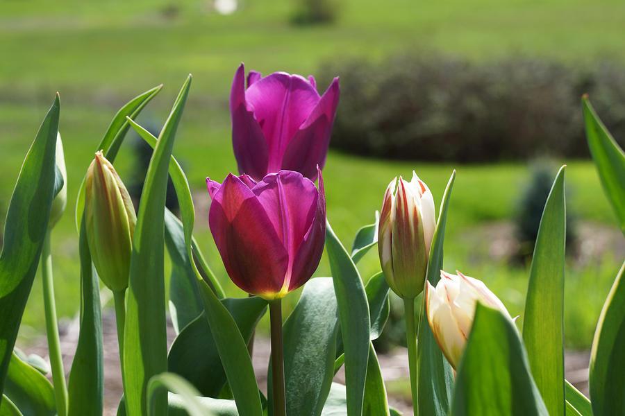 Purple Photograph - Purple Tulips Garden Art Print Tulip Flowers by Baslee Troutman