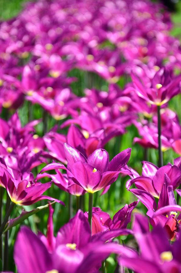 Purple Photograph - Purple Tulips by Gynt