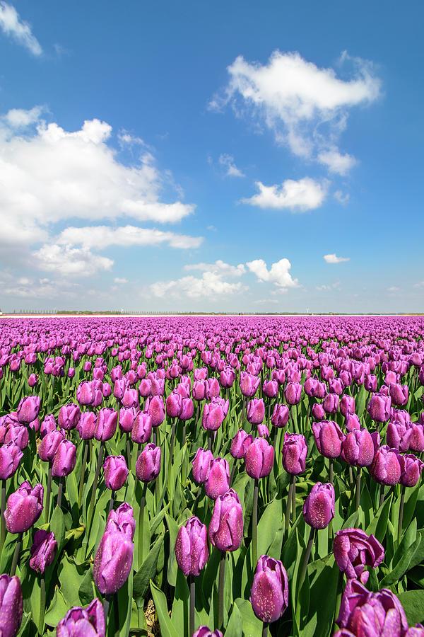 Purple Tulips Photograph by Sjo
