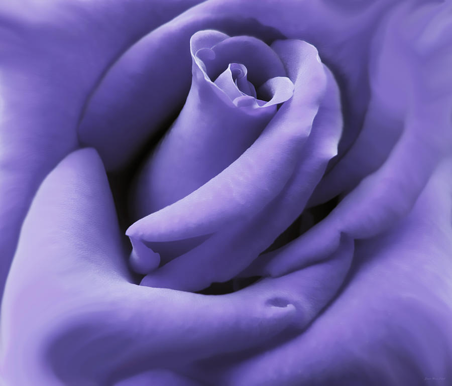 purple velvet rose flower photograph by jennie marie schell