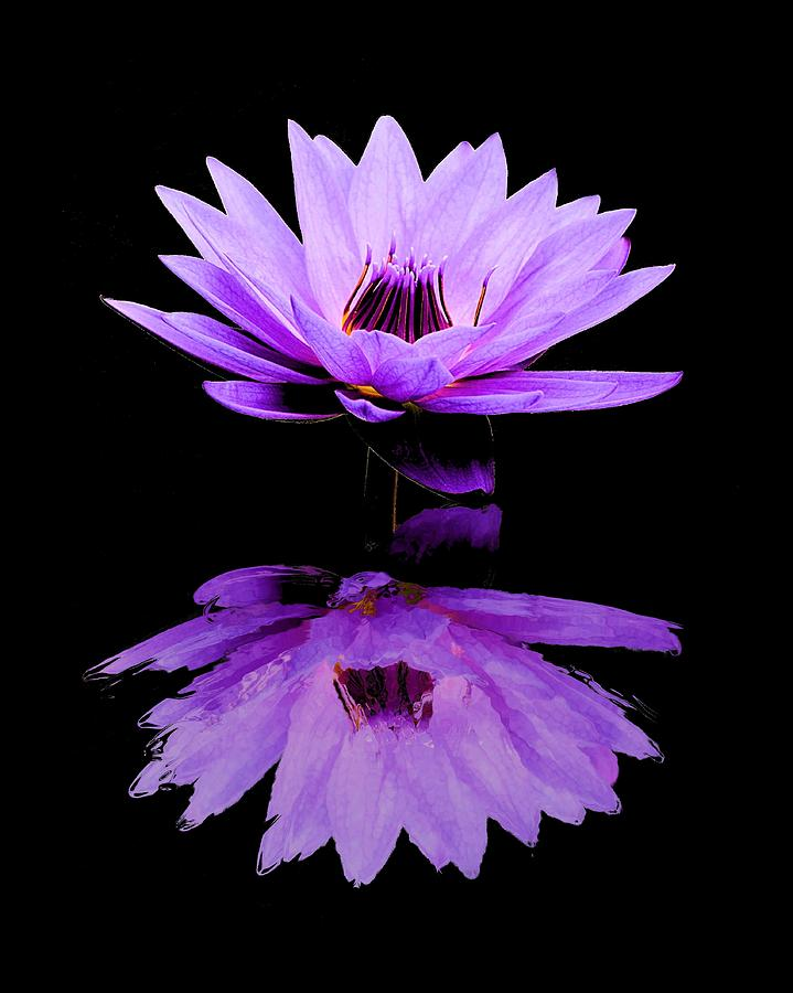 Purple Water Lily Photograph By Elizabeth Budd