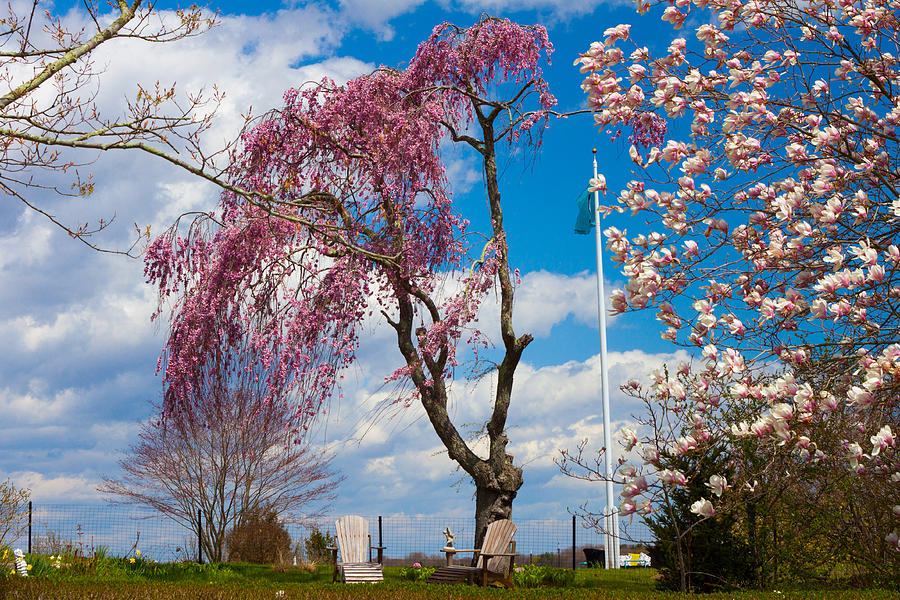 Pink weeping willow tree photograph by kirkodd photography of new weeping willow photograph pink weeping willow tree by kirkodd photography of new england mightylinksfo