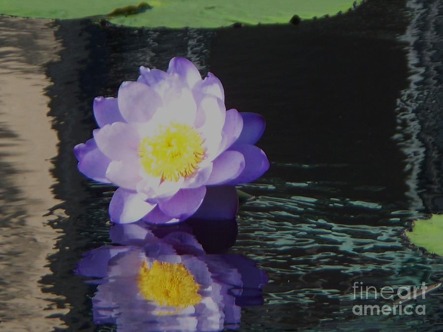 Photograph Photograph - Purple White Yellow Lily by Eric  Schiabor
