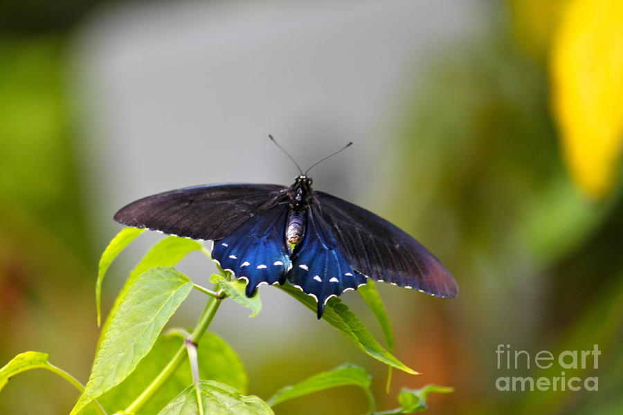 Butterfly Photograph - Purple Wings by Jay Nodianos