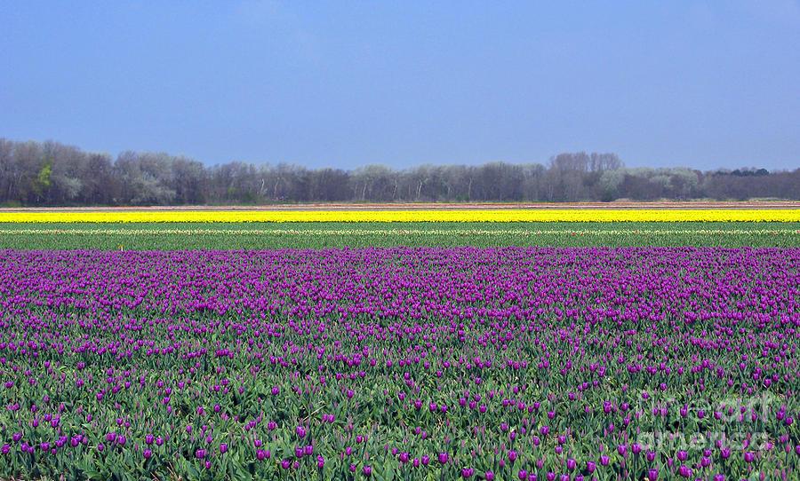 Purple Photograph - Purple With Golden Lining. Fields Of Tulips Series by Ausra Huntington nee Paulauskaite