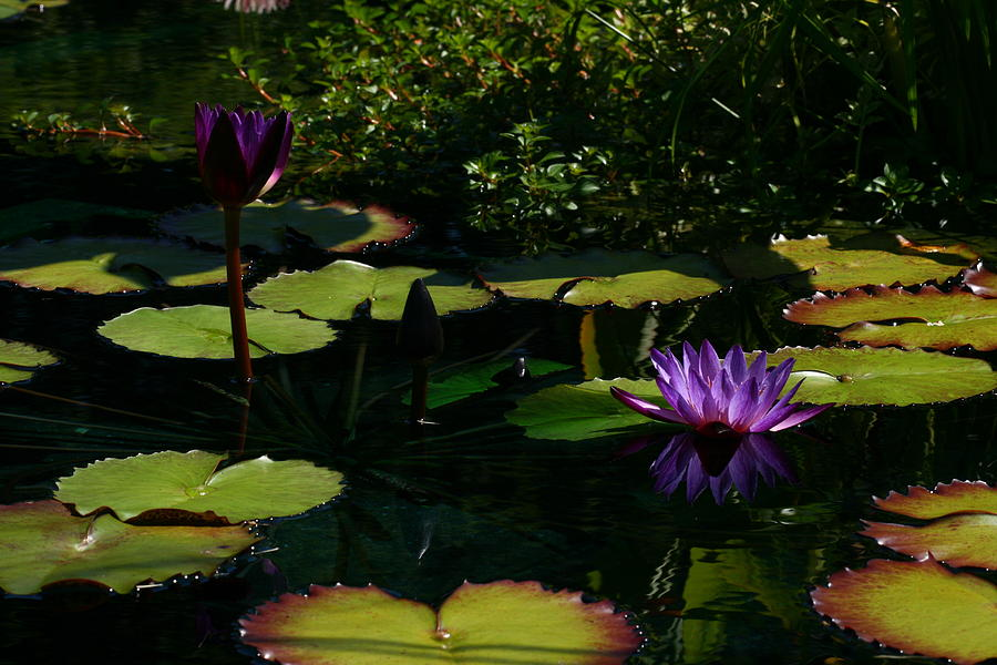 Water Lily Photograph - Purplette by Doug Norkum
