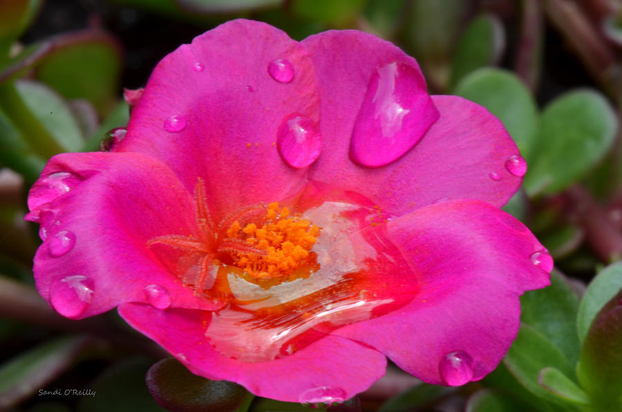 Purslane Photograph - Purslane Flower In The Rain by Sandi OReilly