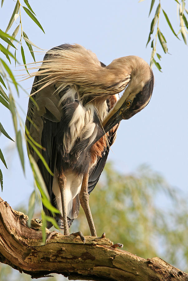 Heron Photograph - Putzfimmel by Juergen Roth