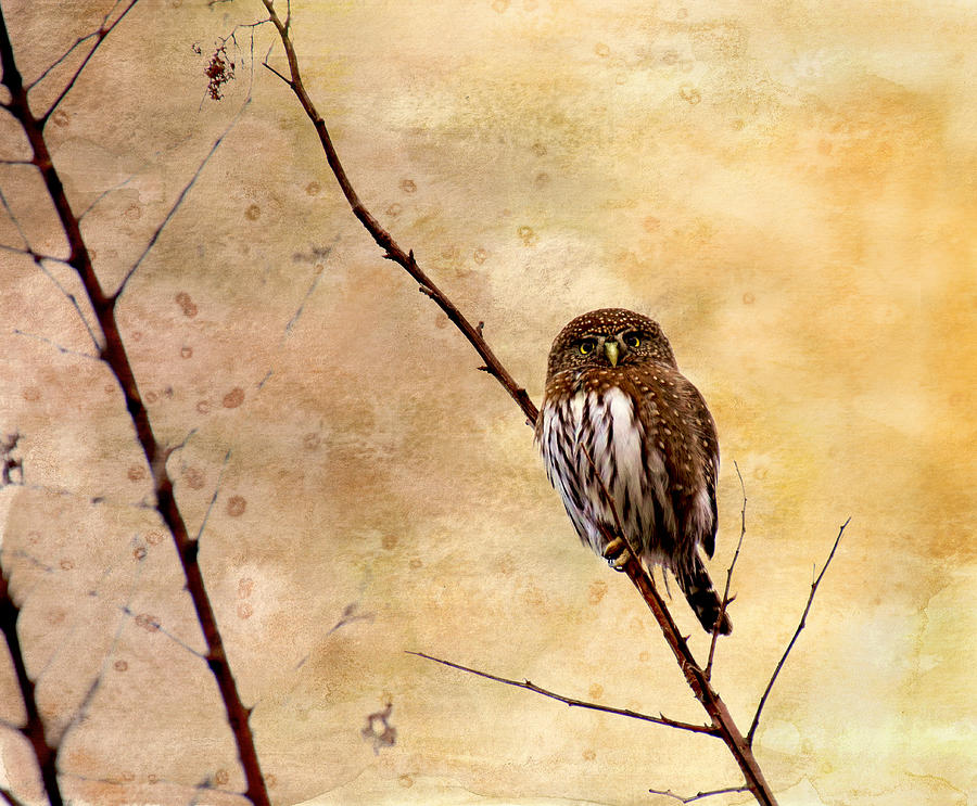 Owls Photograph - Pygmy Owl - The Watcher by Peggy Collins