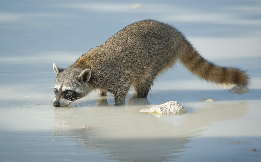 Pygmy Raccoon Drinking Cozumel Isl Photograph by Kevin Schafer