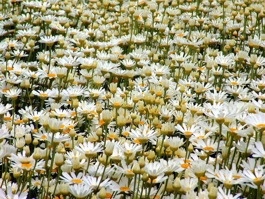 Pyrethrum In Tasmania Photograph