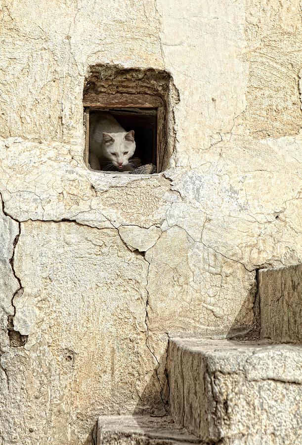 Cat Photograph - Qatari Alley Cat by Paul Cowan