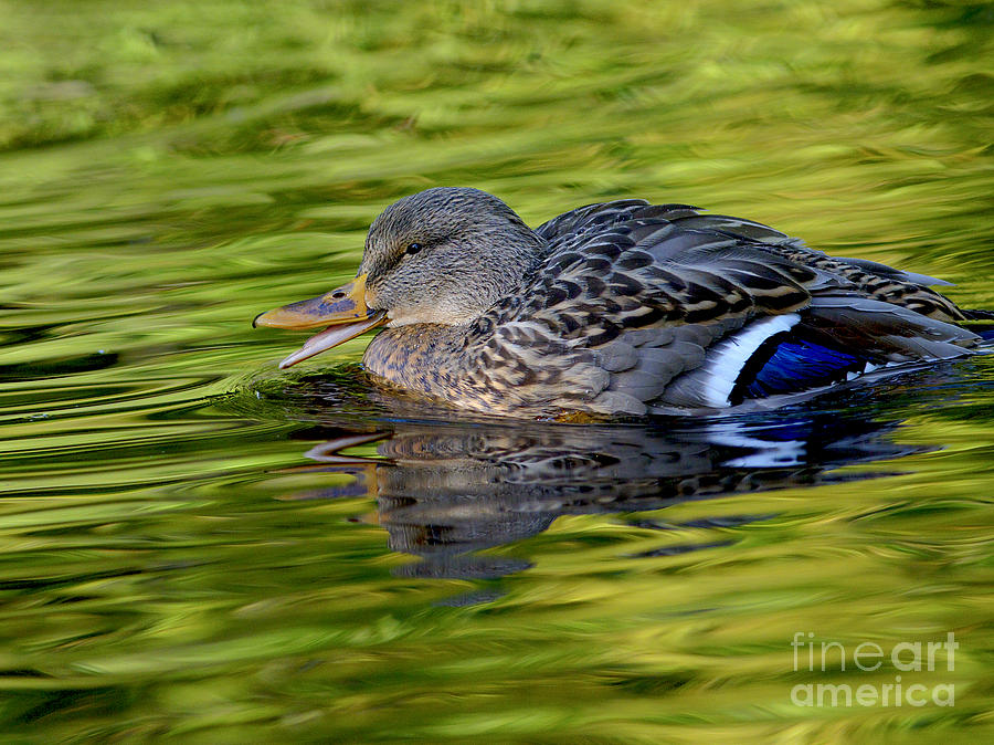 Mallard Photograph - Quack by Sharon Talson
