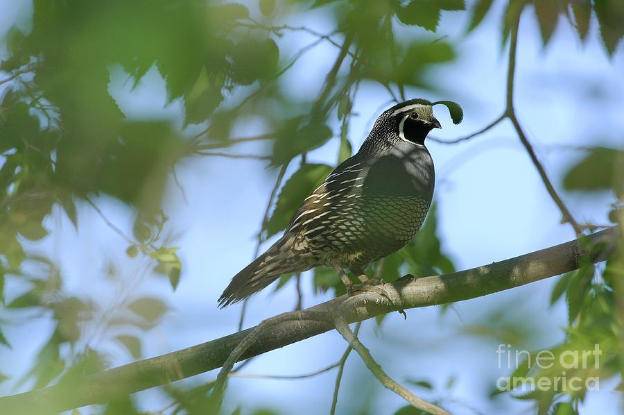 Bird Photograph - Quail by Dennis Hammer