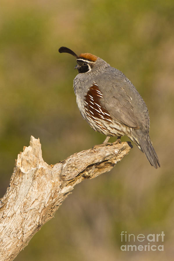Quail Photograph - Quail On A Stick by Bryan Keil