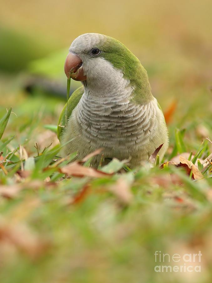 Quaker Parrot Photograph - Quaker Parrot #3 by David Cutts