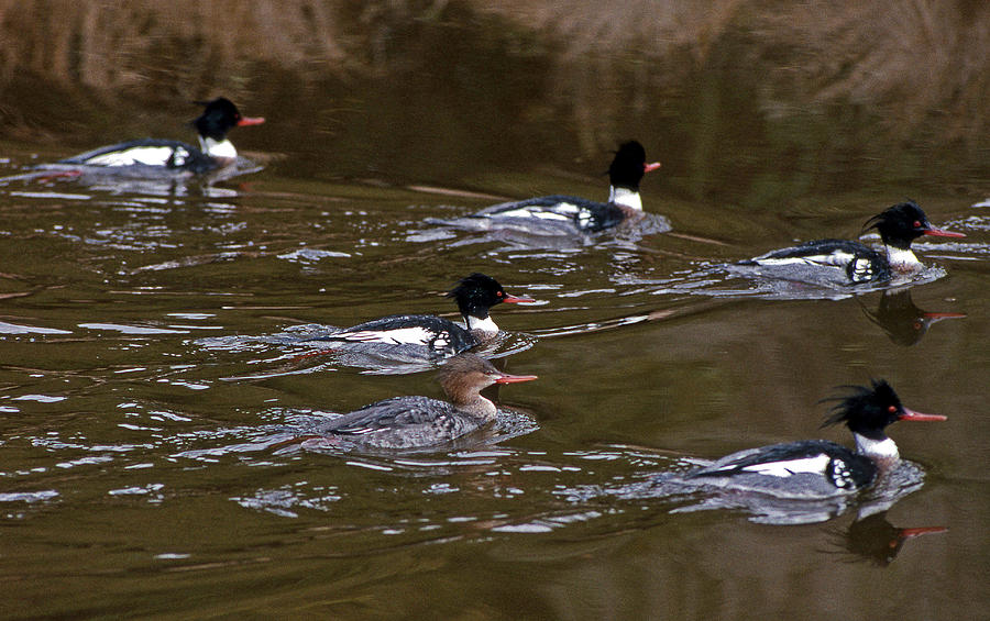 Ducks Photograph - Queen And Her Court by Skip Willits