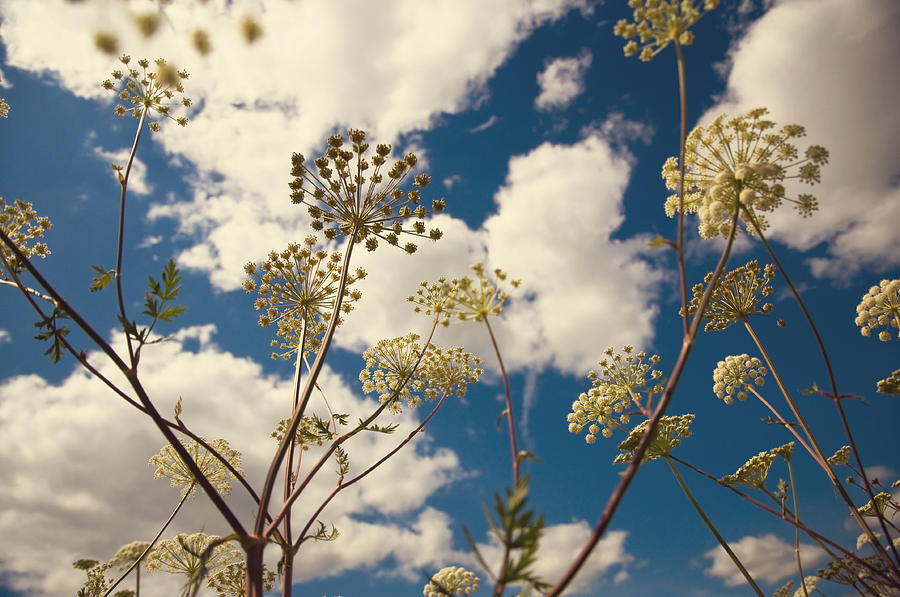 Anne Photograph - Queen Anne Lace And Sky I by Jenny Rainbow