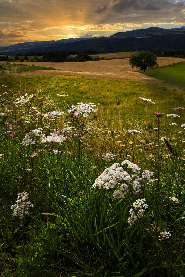 Appalachia Photograph - Queen Annes Lace by Debra and Dave Vanderlaan