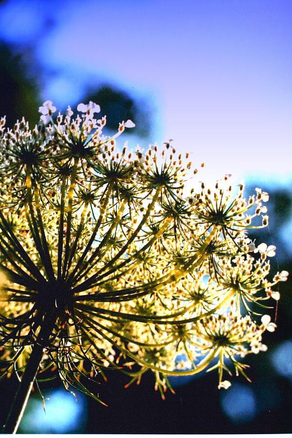 Queen Annes Photograph - Queen Annes Lace II by Diane Merkle