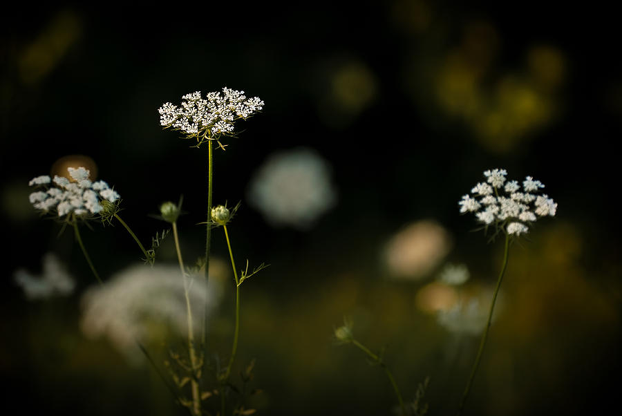 Queen Anne's Lace Photograph - Queen Annes Lace by  Onyonet  Photo Studios
