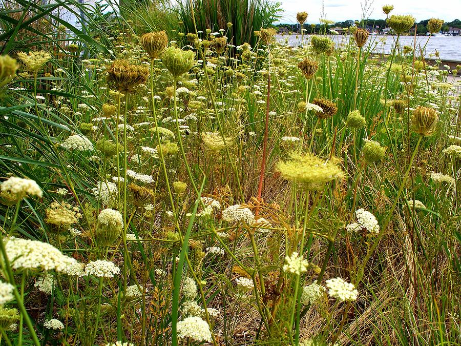 Natural Scene Photograph - Queen Annes  Lace Riverfront  by Rick Todaro