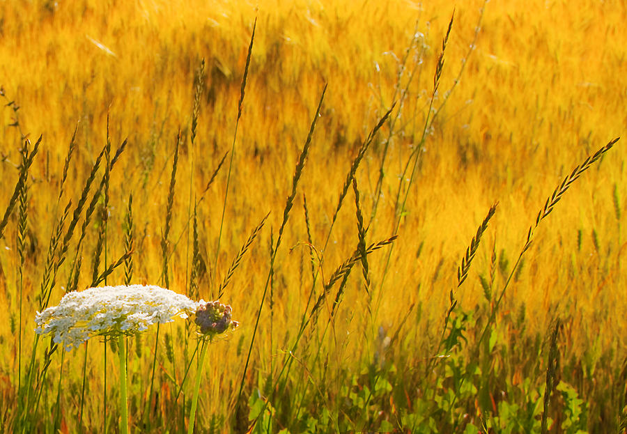 Field Photograph - Queen Annes Lace by Theresa Tahara