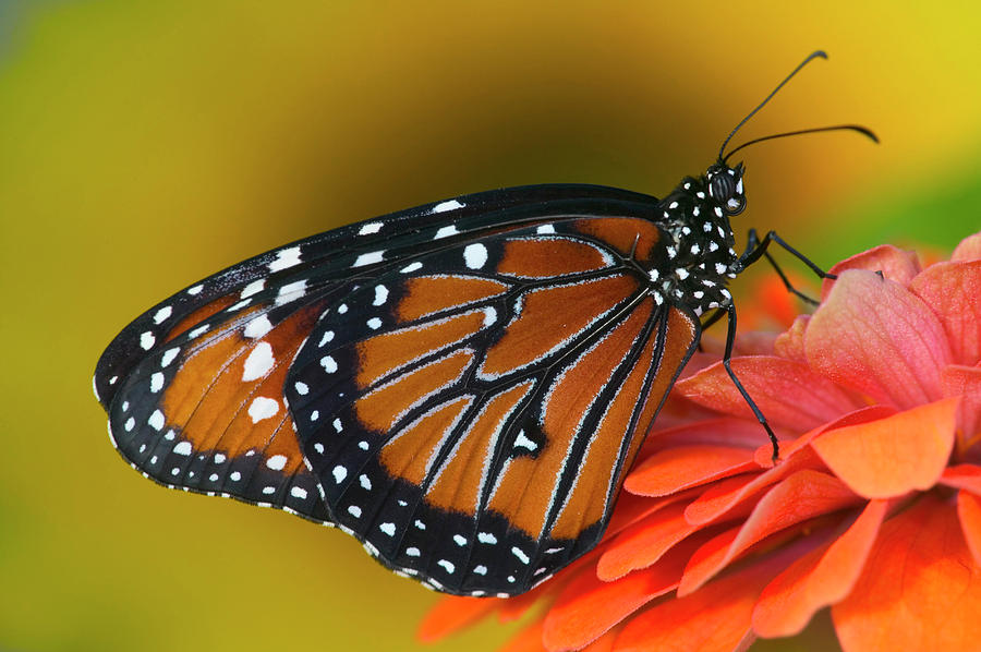 Butterfly Photograph - Queen Butterfly, Danaus Gilippus by Darrell Gulin
