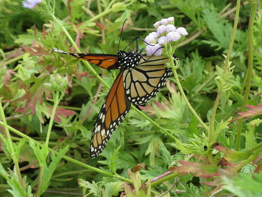Monarch Butterfly Open by Cindy Clements