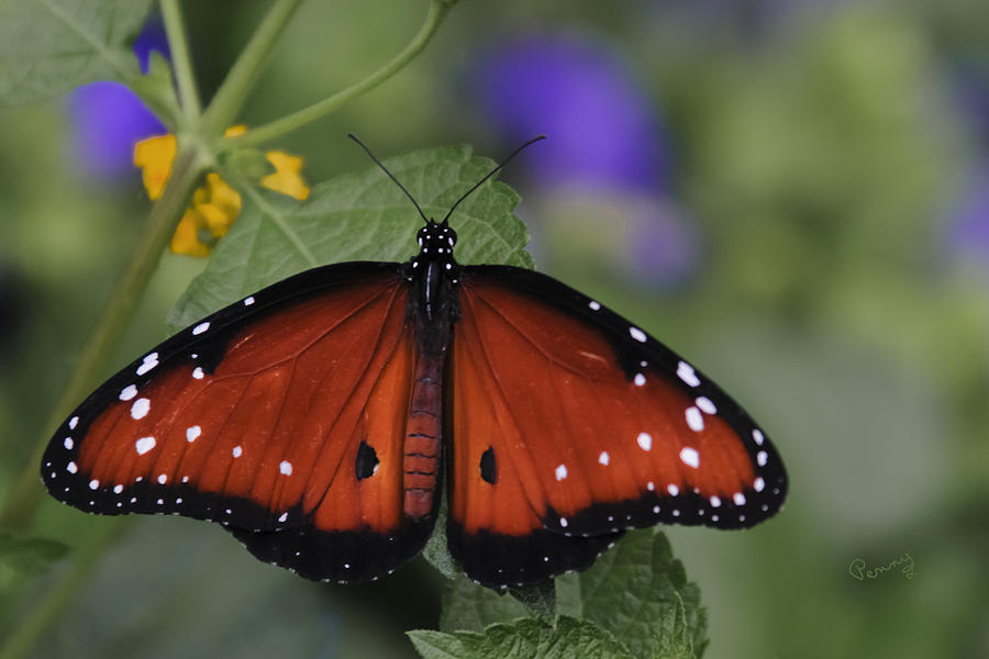 Alive Photograph - Queen Butterfly by Penny Lisowski