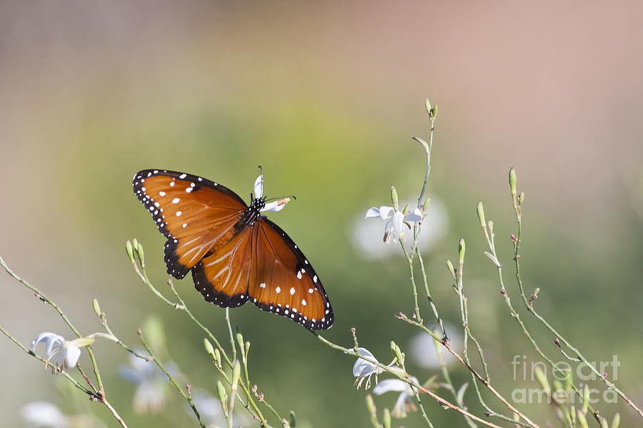 Butterfly Photograph - Queen In Morning Light by Ruth Jolly