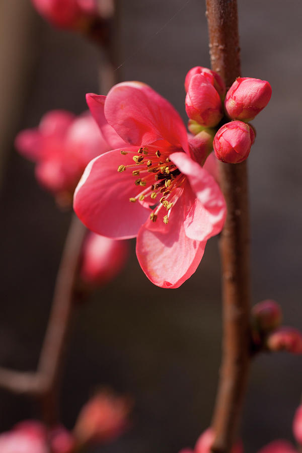 Quince Flower And Blossom Photograph by Caroyl La Barge