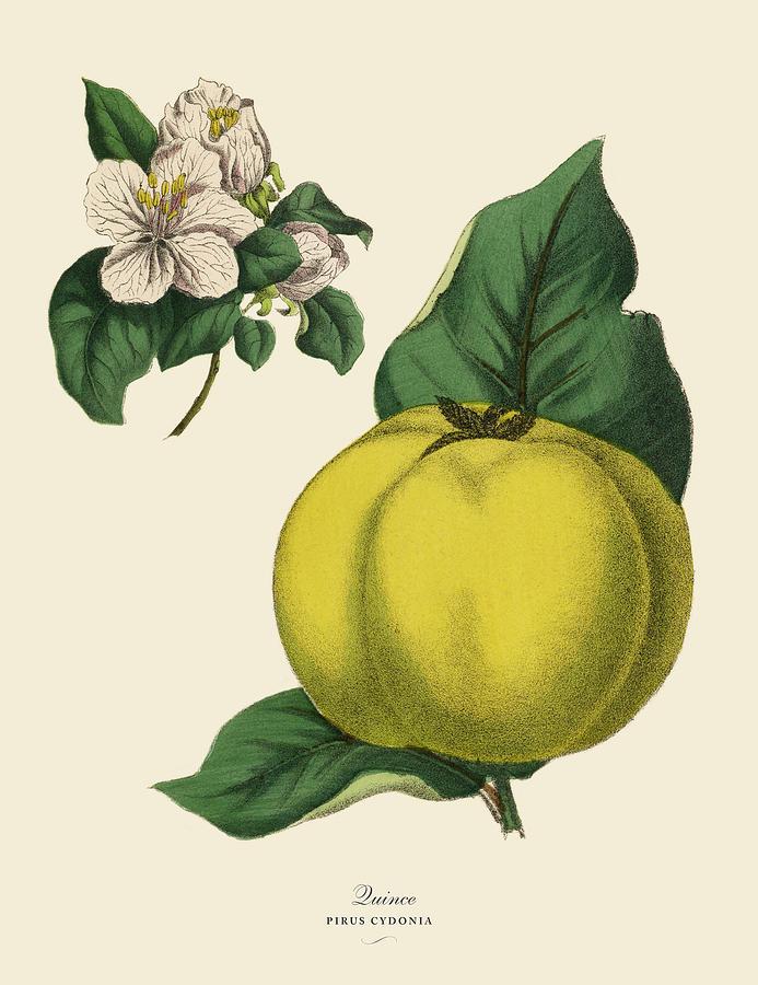 Quince Fruit Tree, Victorian Botanical Digital Art by Bauhaus1000