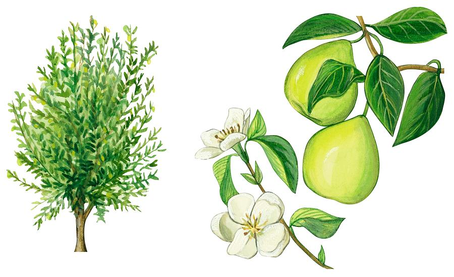 Tree Drawing - Quince Tree by Anonymous
