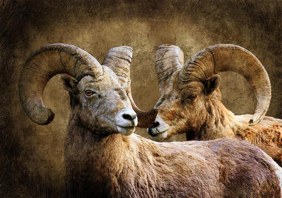 Bighorn Sheep Photograph - Quite The Pair by Steve McKinzie