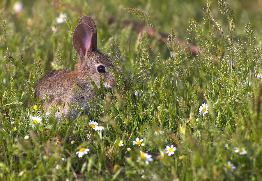 Rabbit Photograph - Rabbit by Guido Montanes Castillo