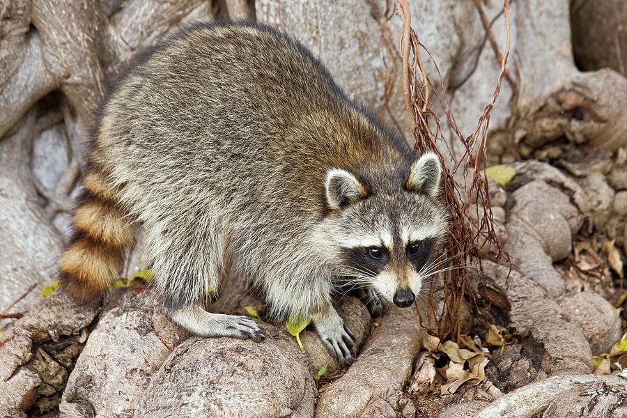 Nobody Photograph - Raccoon Foraging For Food by Bob Gibbons