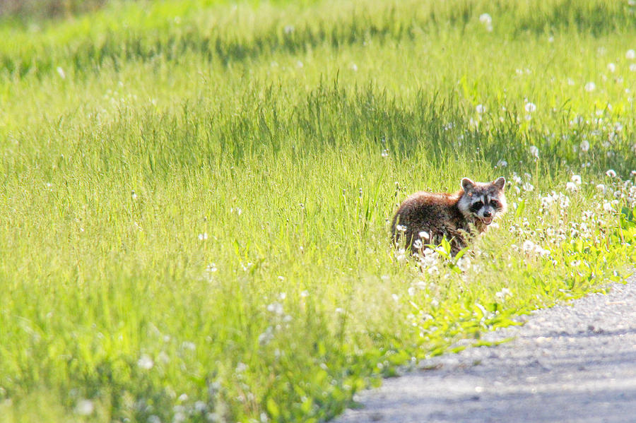 Raccoon Photograph - Raccoon In Green Field by Jill Bell