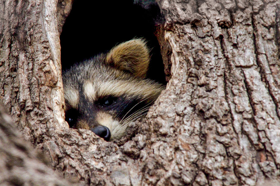 Raccoon Photograph - Raccoon In Tree by Jill Bell