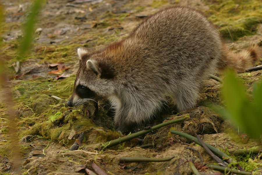Raccoon Photograph - Raccoon by Mark Russell