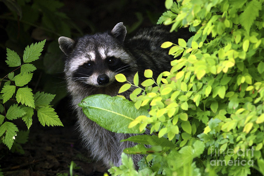 Raccoon Photograph - Raccoon Peek-a-boo by Sharon Talson